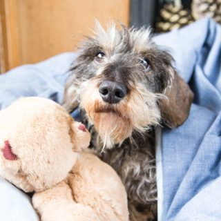 miniature wirehaired dachshund under a blue cover with a teddy bear