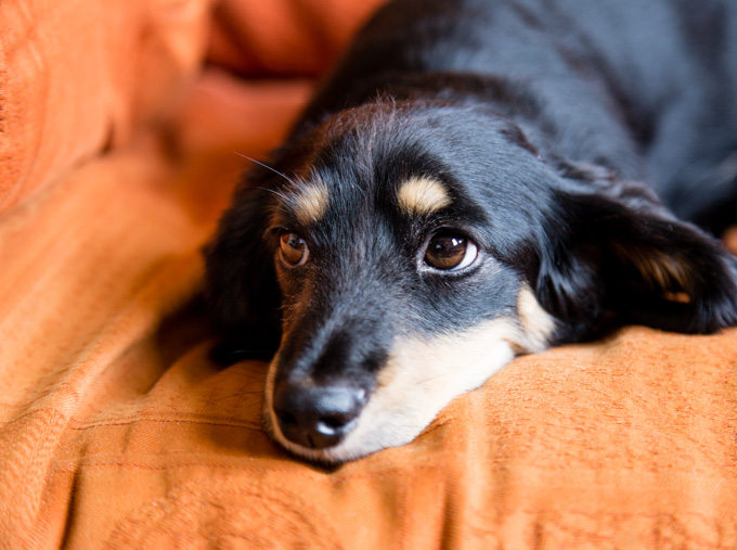 Long haired black and cream miniature dachshund on an orange sofa