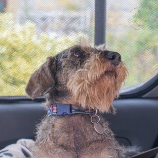 A miniature wire haired dachshund in a car with a shaded window behind